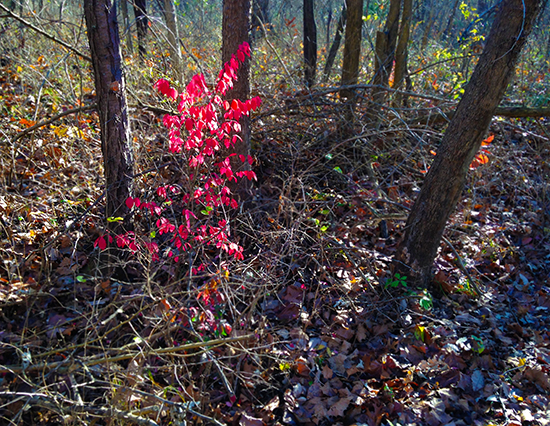 Photograph of Burning Bush in the Forest by John Hulsey