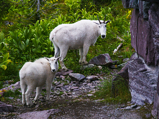 Photo of Mother and Kid Goats, Glacier National Park,Mt., by John Hulsey