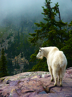 Photo of Mountain Goat at Glacier National Park