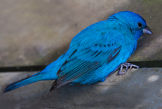 Photograph of Indigo Bunting